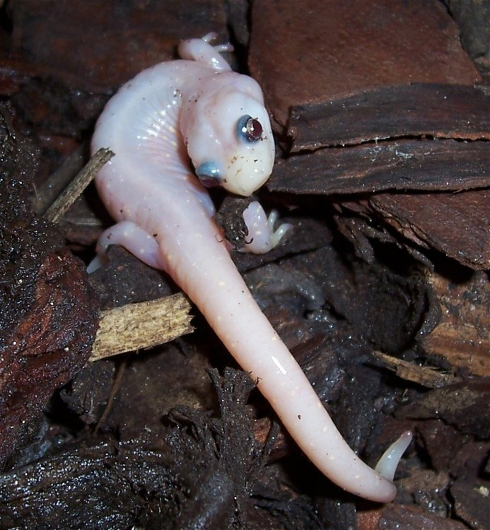 Newt | A-Z List of 125 Rare Albino Animals [Pics]