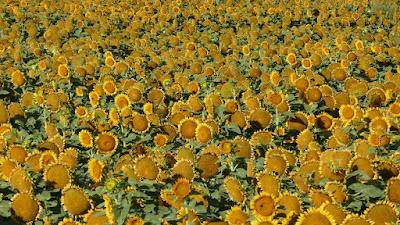 Hilda, Alberta, sunflowers, crop, plant, happy