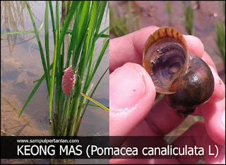 Mengenal sejarah dan penyebaran hama Keong mas (Pomacea canaliculata Lamarck)
