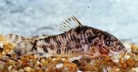 Jenis Ikan Corydoras difluviatilis