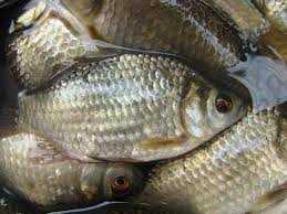 Hướng dẫn làm nhậy và mồi câu cá Nhưng(Diếc)
