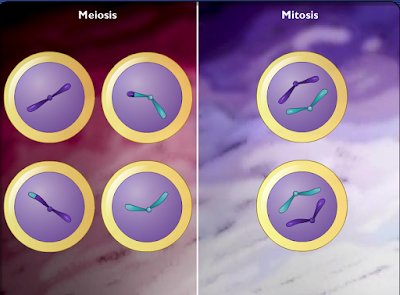 http://www.mhhe.com/sem/Spanish_Animations/sp_cmpre_meiosis_mitosis.swf