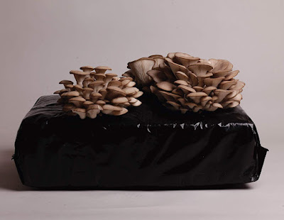 seta de ostra
