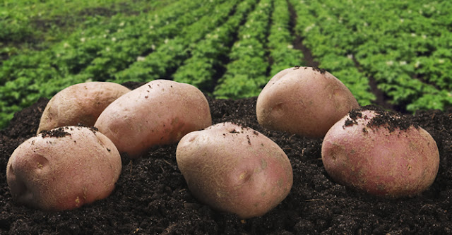 اهم طرق زراعة البطاطس Growing-potatoes-main