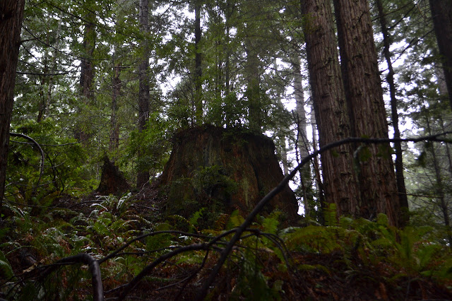 giant stump among big trees
