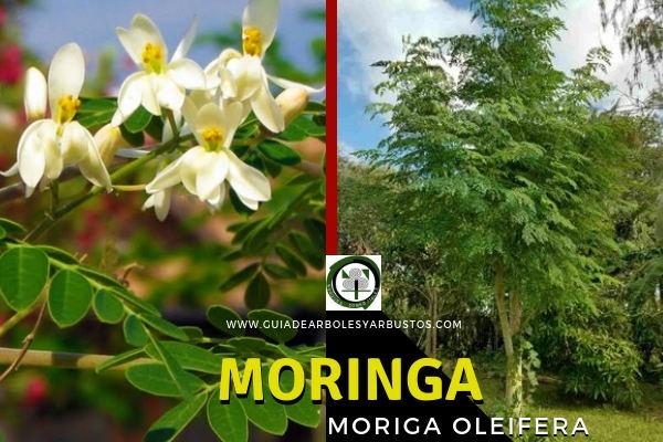 Moringa, Moriga oleifera, todas las partes del árbol son comestibles