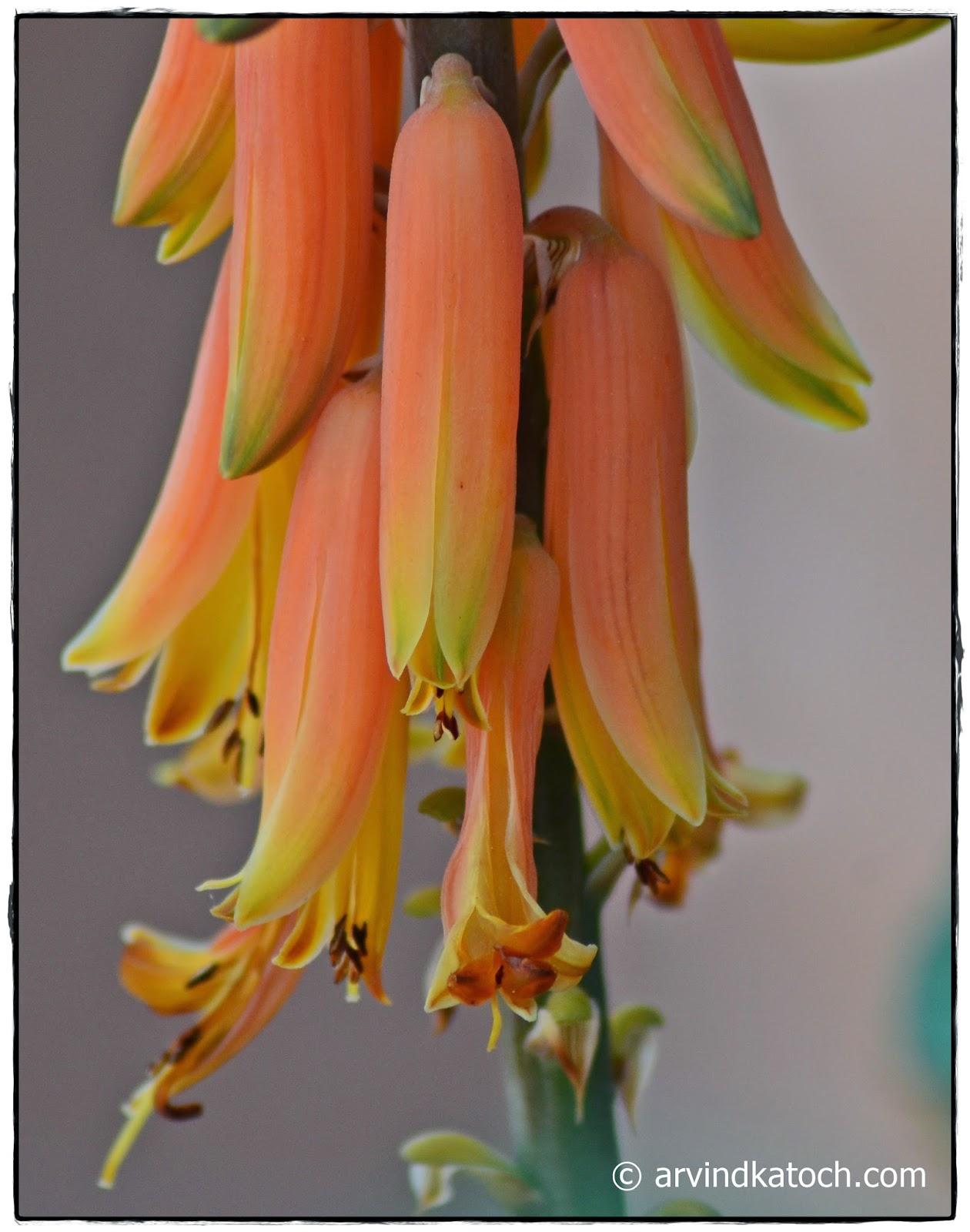 Blossom, Aloe Vera, Flowers