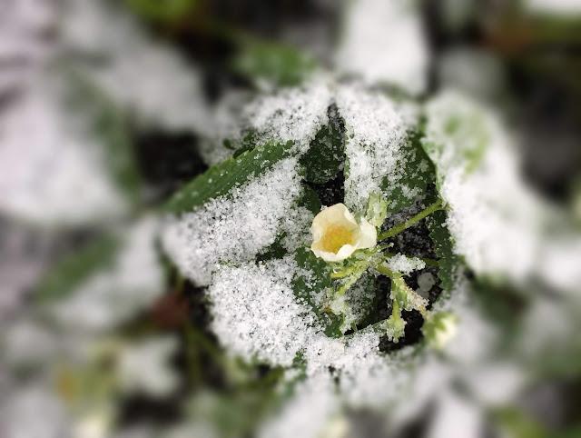 Erdbeeren im Schnee