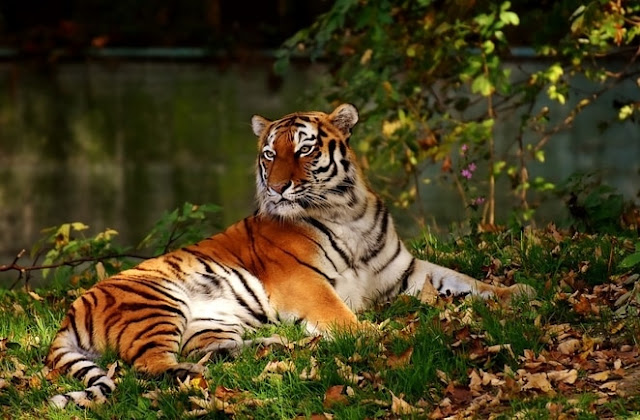 royal-tiger-kolkata-Beautiful-Image-result-Tiger-Spirit-animal-totem-meaning