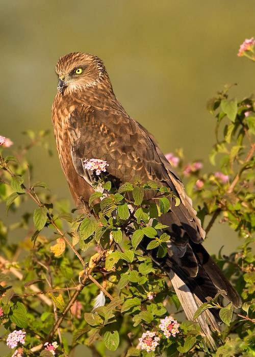 Indian birds - Image of Western marsh harrier - Circus aeruginosus
