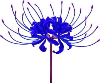青い彼岸花(あおいひがんばな)