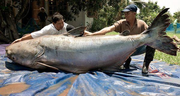 Wow! Ini 10 Ikan Lele Terbesar di Dunia yang Pernah Ditemukan