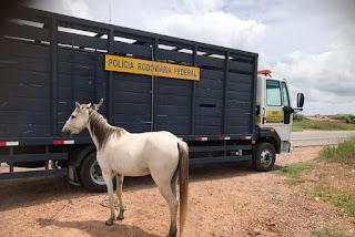 PRF recolhe 14 animais soltos nas proximidades de rodovias na Operação Carnaval