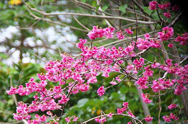 Plum and Cherry Blossoms bloom during January in Okinawa