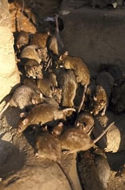 ratos - Pragas e Eventos