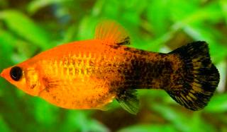 Tahap tahap budidaya ikan golden black molly