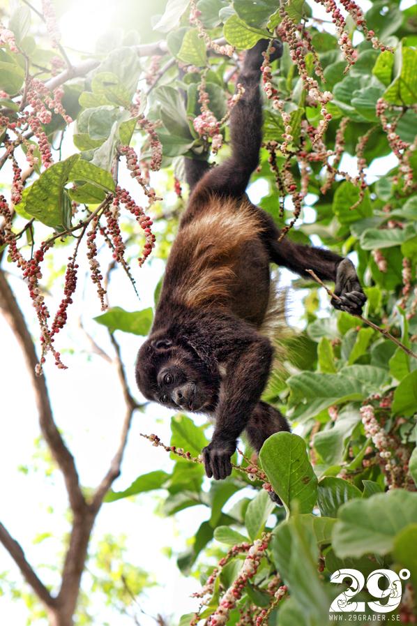 Dagens bild - Howler Monkey