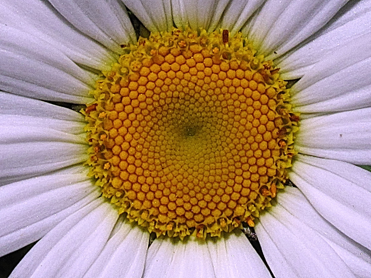 The Joyce Road Neighborhood Daisy Spirals And Mathematics The following month, daisy brown uploaded its first video, titled how i feed. daisy spirals and mathematics