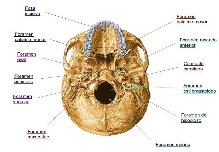 resumenes medicina agujeros de la base del cr neo y