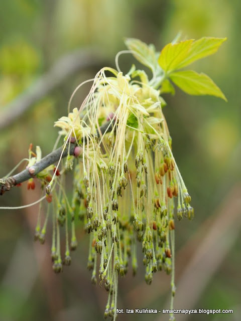 kwiatostan, drzewa, las, wiosna, kwiaty, las bemowski, spacer, prosto z lasu