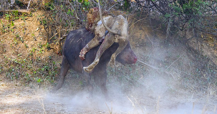 Ruthless fight between a lion and a buffalo