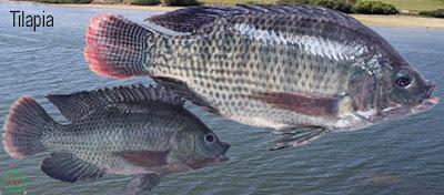 tilapia fish, tilapia