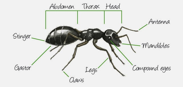Free coloring pages of parts of an ant