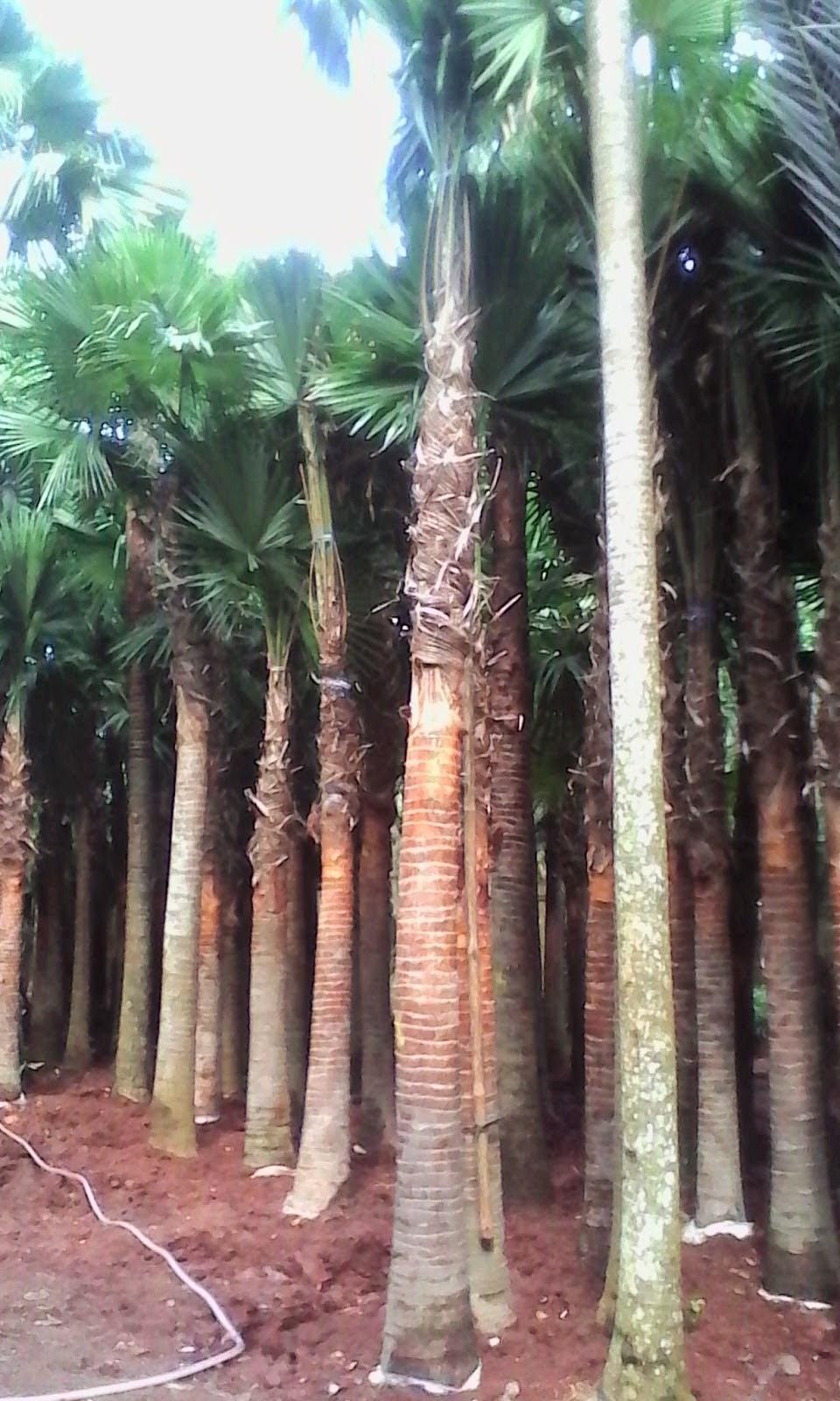 Jual Pohon Palem Sadeng Minyak