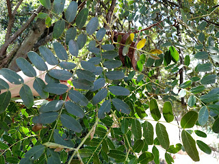 Molina, Dividivi – caesalpinia spinosa - legume tree south america arbol leaves pods