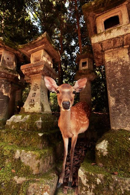 Ciervo entre los farolillos del santuario Kasuga Taisha en Nara