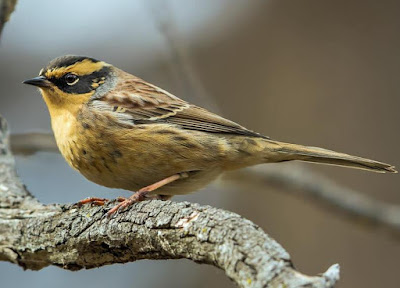 Accentor - Animals beginning with A