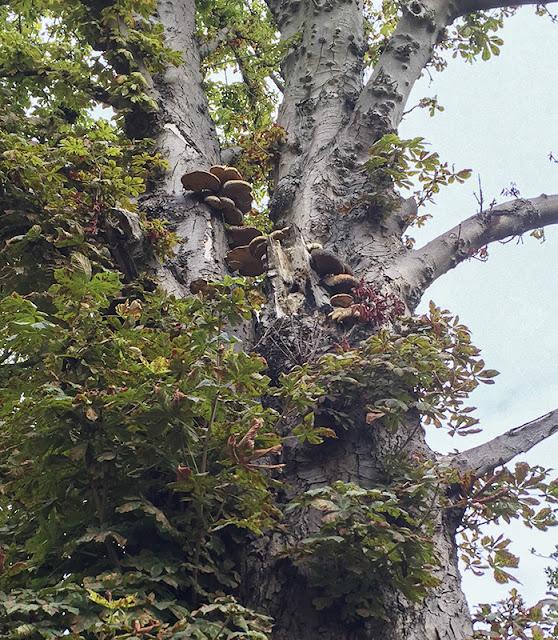Dryad's Saddle, Polyporus squamosus, on Horse-chestnut.  The Knoll, Hayes, 4 September 2016.