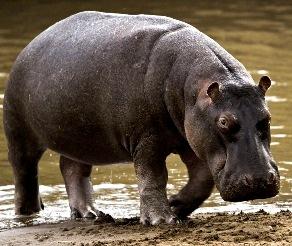 Foto de un hipopótamo caminando