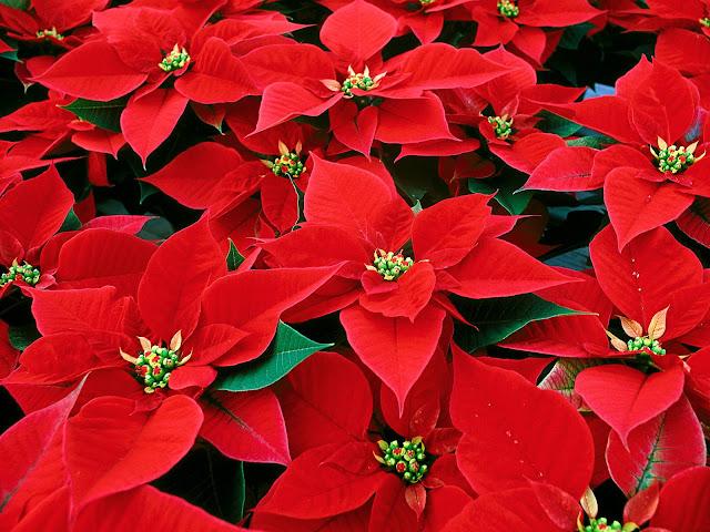 Significato Della Stella Di Natale.Il Mondo In Un Giardino Come Far Durare La Stella Di Natale