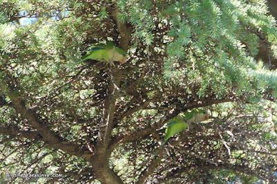Cotorreta de pit gris (Myiopsitta monachus)