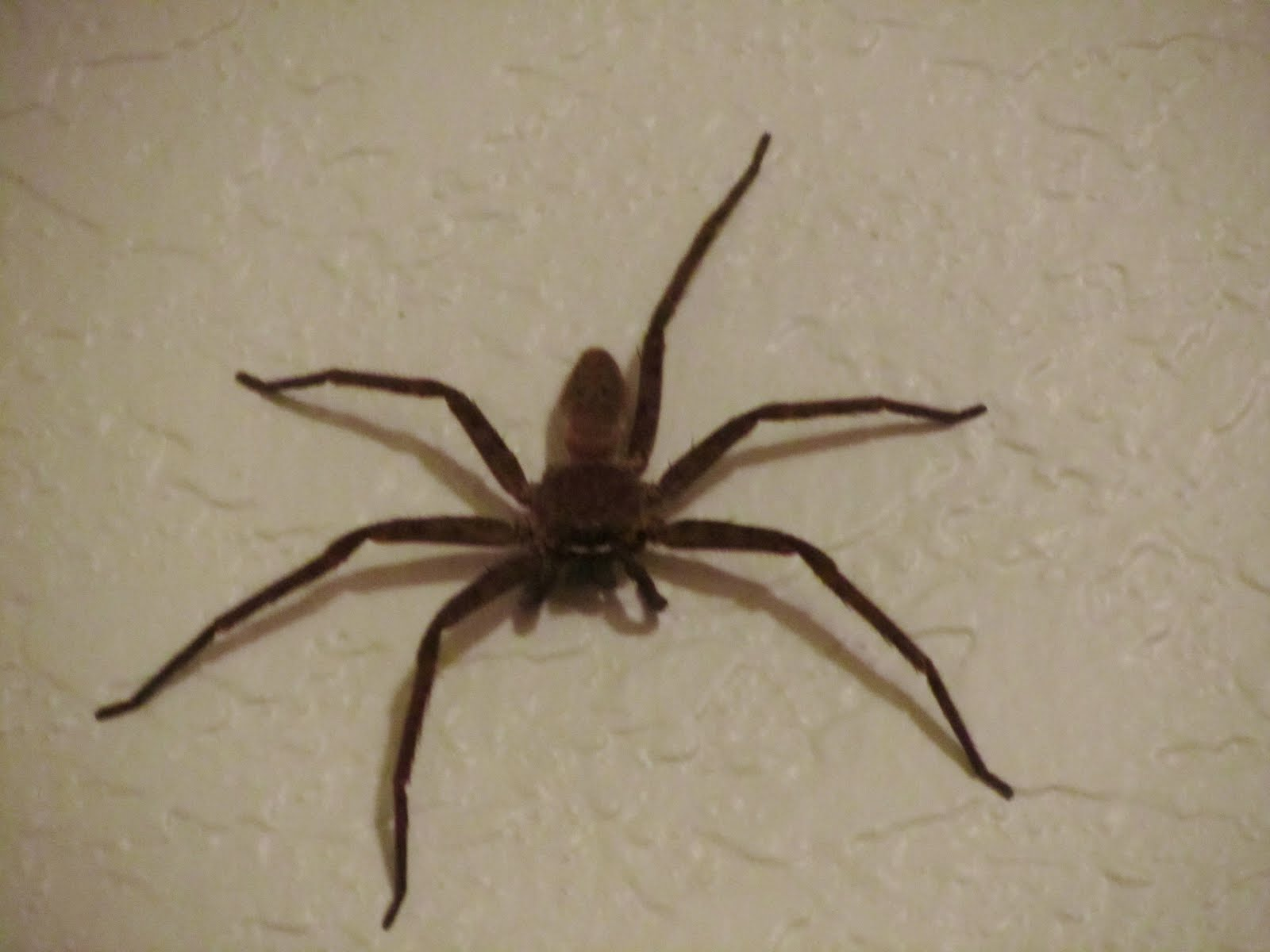 Pointless Paradise Cane Spider