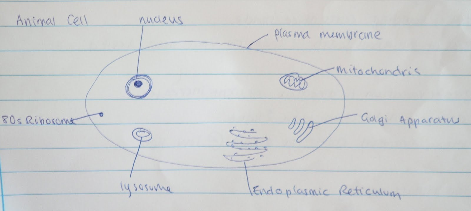 Draw a diagram of the ultrastructure of an animal cell as seen in a electron micro graph 6