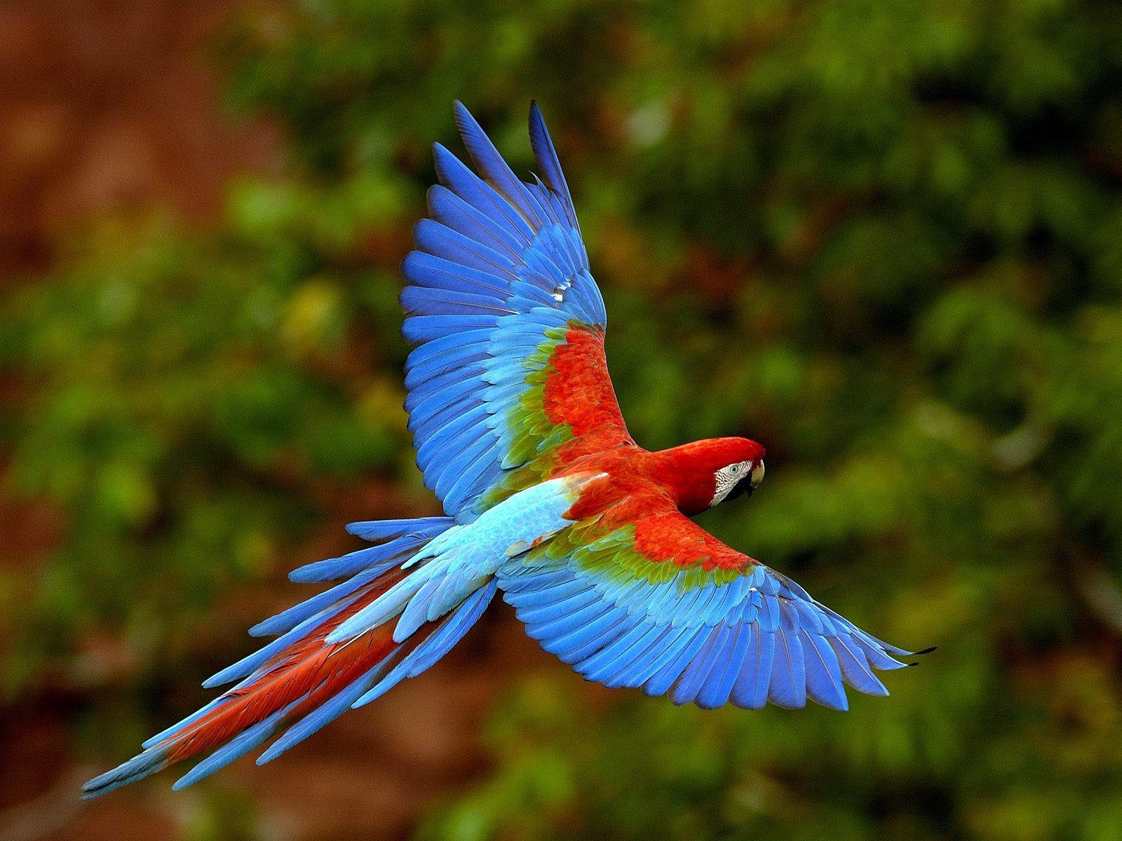 parrots wallpaper bird - photo #20