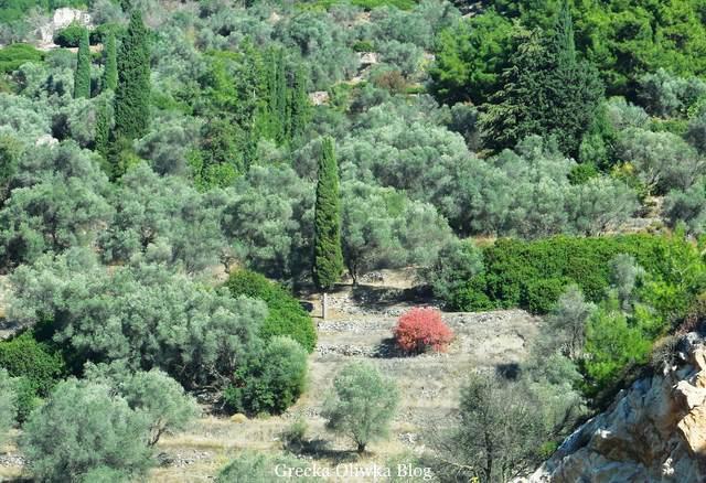 gaj oliwny, wysokie cedry i cyprys, w dolinie gaju oliwngo czerwone liściaste drzewo
