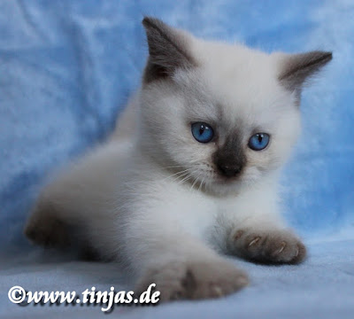 BKH Kitten weiblich chocolate colourpoint 2017 05 20 110