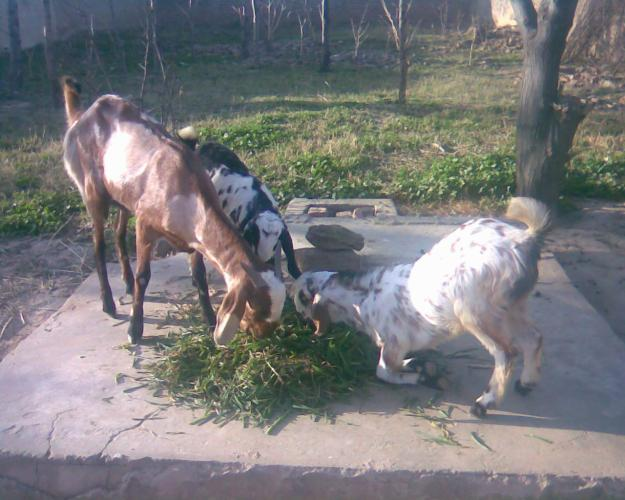 Pet Supplies Pakistan: Goat with two babies for sale