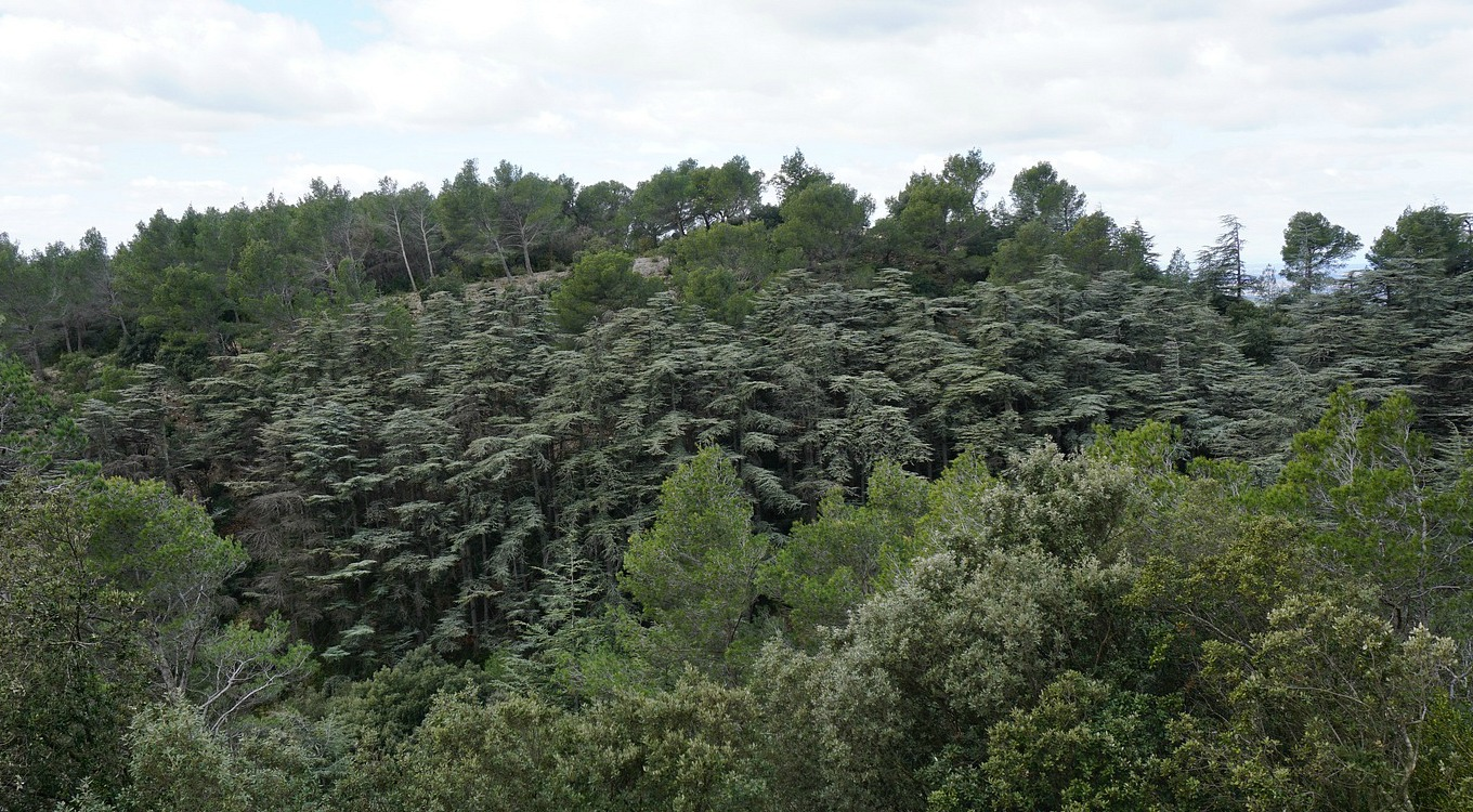 Wood of cedars in Les Alpilles