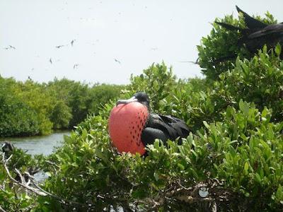 Frégate à Codrington Lagoon