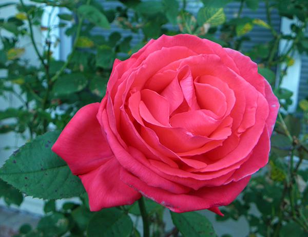 orange rose in full bloom