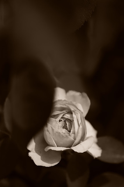 St. Swithun Rose, rose, english rose, amy myers photography