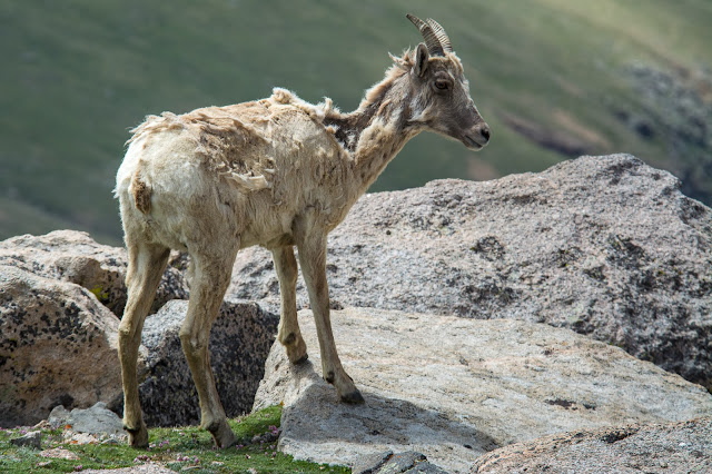 Bighorn Sheep, Mount Evans