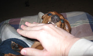 Tammy, miniature dachshund, teeth