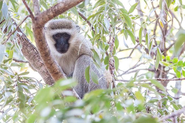 scimmie  parco kruger sud africa safari