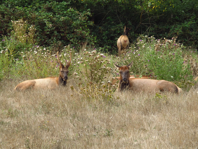 Elk Herd Northern California