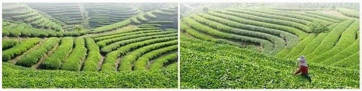 ไร่เจียวกู่หลานในจีน